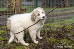 Issaquah, Washington, USA.  Ten week old Great Pyrenees puppy chewing a big stick.  (PR)