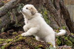 Issaquah, Washington, USA.  Ten week old Great Pyrenees puppy posing in front of a large tree trunk.  (PR)