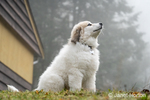 Issaquah, Washington, USA.  Ten week old Great Pyrenees puppy sitting by her home on a foggy day.  (PR)