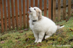 Issaquah, Washington, USA.  Ten week old Great Pyrenees puppy sitting by a fence barking.  (PR)