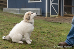 Issaquah, Washington, USA.  Ten week old Great Pyrenees puppy sitting in the barnyard looking up at her owner.  (PR)
