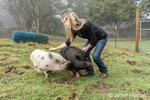 Issaquah, Washington, USA.   Woman brushing her Julianna mini pig and Vietnamese Pot-bellied pig.  (PR) (MR)