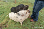 Issaquah, Washington, USA.  Woman teaching her Julianna mini pig and Vietnamese Pot-bellied pigs to sit, and rewarding them with peanuts.  (PR) (MR)