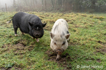 Issaquah, Washington, USA.  Julianna mini pig and Vietnamese Pot-bellied pig in the barnyard on a foggy day.  (PR)