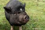 Issaquah, Washington, USA.   Portrait of a  ietnamese Pot-bellied pig in the barnyard.  (PR)
