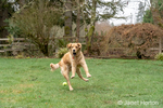 """Issaquah, Washington, USA.  Nine month old Golden Retriever """"Aspen"""" jumping, trying to catch a ball that has been thrown.  (PR)"""