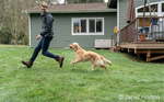 """Issaquah, Washington, USA.  Nine month old Golden Retriever """"Aspen"""" chasing after her owner who has the ball, across wet grass, throwing up water droplets.  (PR) (MR)"""