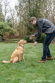 Issaquah, Washington, USA.  Owner placing a dog biscuit on a nine month old Golden Retriever's nose to demonstrate a trick of balancing it first before eating it.  (PR) (MR)