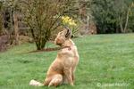 "Issaquah, Washington, USA.  Nine month old Golden Retriever ""Aspen"" .  (PR)"
