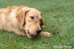 "Issaquah, Washington, USA.  Nine month old Golden Retriever ""Aspen"" reclining in wet grass chewing a stick.  (PR)"