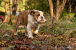 Issaquah, Washington, USA.  Six month old English Bulldog