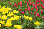 Christmas Marvel (red) and Monte Carlo (yellow) Tulips at Roozengaarde Flowers & Bulbs