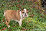 """Issaquah, Washington, USA.  Six month old English Bulldog """"Petunia"""" posing in her forested yard, standing on Creeping Buttercup wildflowers.  (PR)"""