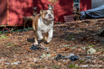 "Issaquah, Washington, USA.  Six month old English Bulldog ""Petunia"" running in her forested yard.  (PR)"