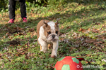 """Issaquah, Washington, USA.  Six month old English Bulldog """"Petunia"""" chasing after a thrown ball in her forested yard.  (PR)"""