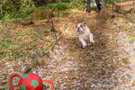 "Issaquah, Washington, USA.  Six month old English Bulldog ""Petunia"" chasing after a thrown ball in her forested yard.  (PR)"