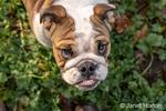 "Issaquah, Washington, USA.  Portrait of a six month old English Bulldog ""Petunia"" looking upward.  (PR)"