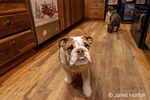 "Issaquah, Washington, USA.  Six month old English Bulldog ""Petunia"" walking in her kitchen with a French Bulldog ""Peanut"" in the background.  (PR)"