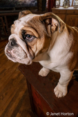 Issaquah, Washington, USA.  Six month old English Bulldog