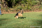 Issaquah, Washington, USA.  Four month old German Shepherd puppy