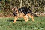 """Issaquah, Washington, USA.  Four month old German Shepherd puppy """"Lander"""" walking in his large backyard."""