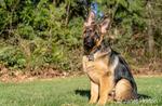 "Issaquah, Washington, USA.  Four month old German Shepherd puppy ""Lander"" environmental portrait."