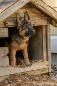 "Issaquah, Washington, USA.  Four month old German Shepherd puppy ""Lander"" looking out of his doghouse"