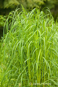 Tall Fescue grass or weed