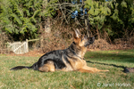 "Issaquah, Washington, USA.  Four month old German Shepherd puppy ""Lander"" performing a ""down"" and ""stay"" command."