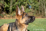 """Issaquah, Washington, USA.  Four month old German Shepherd puppy """"Lander"""" performing a """"down"""" and """"stay"""" command."""