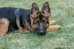 "Issaquah, Washington, USA.  Four month old German Shepherd puppy ""Lander"" resting in the grass after playtime"