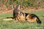 """Issaquah, Washington, USA.  Four month old German Shepherd puppy """"Lander"""" chewing on a stick"""
