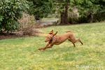 "Issaquah, Washington, USA.  Five month old Vizsla puppy ""Pepper"" running in her yard."
