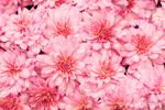 Cluster of Pink Chrysanthemums