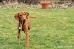 "Issaquah, Washington, USA.  Five month old Vizsla puppy ""Pepper"" walking in his yard with a stick in her mouth."