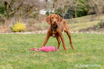 """Issaquah, Washington, USA.  Five month old Vizsla puppy """"Pepper"""" standing in her yard, with a duck toy in front of her."""