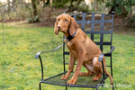 "Issaquah, Washington, USA.  Five month old Vizsla puppy ""Pepper"" sitting in a metal patio chair in her yard."