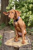 "Issaquah, Washington, USA.  Five month old Vizsla puppy ""Pepper"" sitting in her yard atop a tree stump."