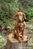 """Issaquah, Washington, USA.  Five month old Vizsla puppy """"Pepper"""" sitting in her yard atop a tree stump."""