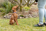 "Issaquah, Washington, USA.  Woman training her five month old Vizsla puppy ""Pepper"" to do  sit and stay commands."