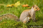 Western Grey Squirrel sitting in the grass