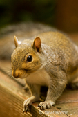 Close-up of Western Grey Squirrel sitting on a bench in our backyard