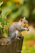 Western Grey Squirrel sitting in a flower half barrel, eating an acorn