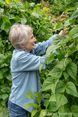 Bellevue, Washington, USA.  Woman picking Monte Cristo pole green beans that are being grown on an A-frame trellis.
