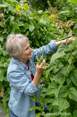 Bellevue, Washington, USA.  Woman picking Monte Cristo pole green beans that are being grown on an A-frame trellis.