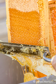 Uncapping honey in a capped frame, using a hot knife.