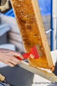 Woman using an uncapping fork (or honey capscratcher or honey scratcher) on a frame full of honey.  You use this tool to puncture holes in the honeycomb.