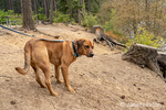 """Lake Easton State Park, Washington, USA.  Redfox Labrador """"Mitch"""" on a leash along the shoreline of Lake Easton, worried as two of his owners are leaving in a canoe."""