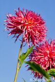 Tacoma, Washington, USA.  Marvelous Mans Dahlia in bloom.
