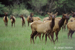Roosevelt Elk herd walking in a meadow